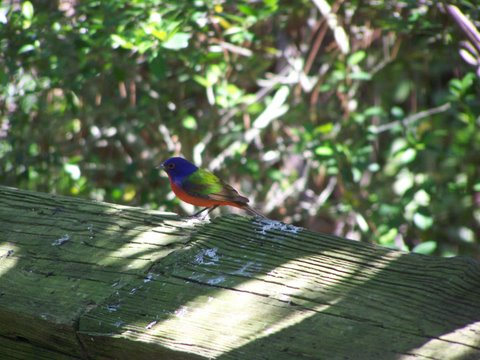 painted bunting on the trail