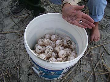 Nest #1 Eggs