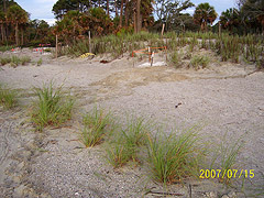 Nest #56 Behind Our Sea Oat Plants
