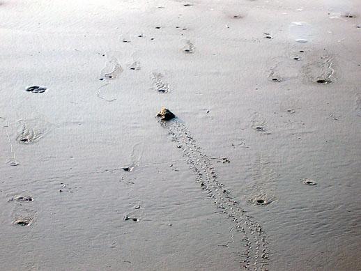 baby turtle crawl
