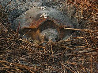 Nest #7 Momma Laying