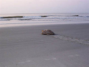 turtle returning to the sea
